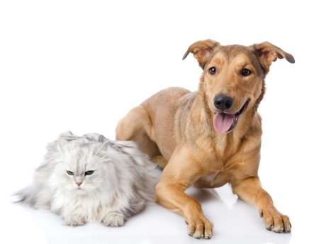 persian cat and mixed breed dog together  isolated on white background Stock Photo - 21759079