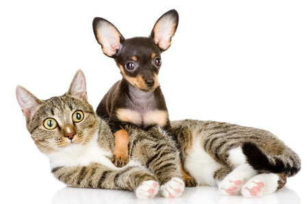 toyterrier: the puppy lies on a striped cat looking at camera  isolated on white background