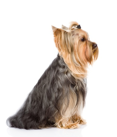 Yorkshire Terrier sitting in profile  isolated on white background Stock Photo - 21759116