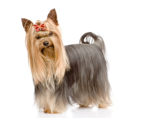 Yorkshire Terrier standing in profile  isolated on white background photo