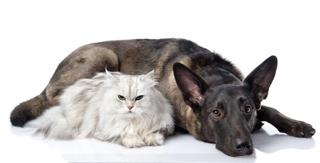 black dog and persian lying together cat  looking at camera  isolated on white background photo