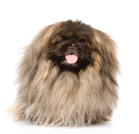 Fluffy Pekingese in front  isolated on white background Stock Photo - 21759133