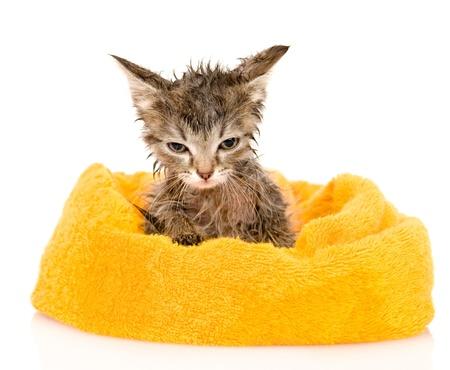 Lindo gatito mojado después del baño aislado en fondo blanco Foto de archivo