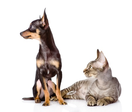 devon rex cat and toy-terrier puppy together  looking away  isolated on white background Stock Photo - 21759164