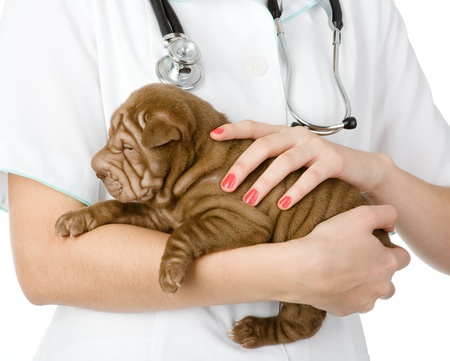 Close up puppy sharpei dog on hands at the veterinarian  isolated on white background photo