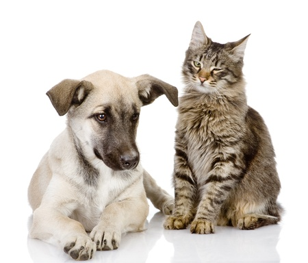 cat and dog together  Isolated on a white background