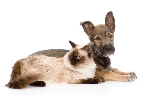 puppy and siamese cat together  isolated on white background Stock Photo - 21759185