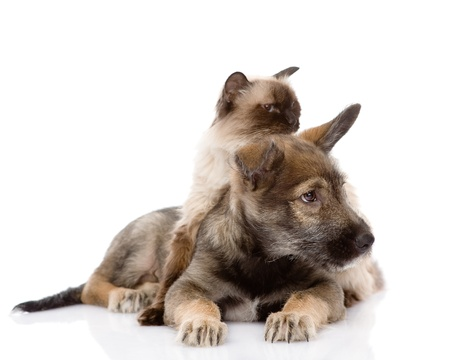 puppy and siamese cat together  isolated on white background photo