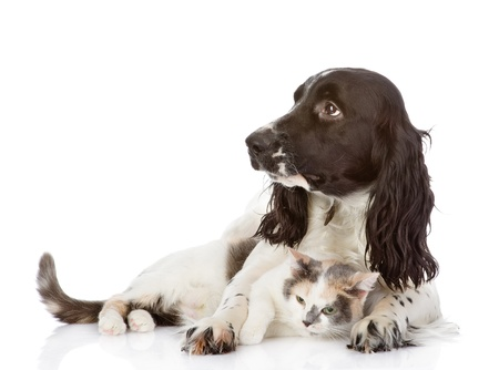 English Cocker Spaniel dog and cat lie together  looking away  isolated on white background photo