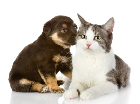 cat and dog together  isolated on white background Stock Photo - 21913072