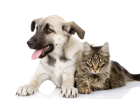 cats playing: cat and dog  isolated on white background Stock Photo