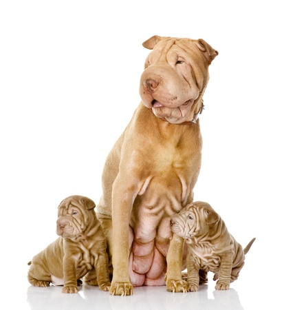 two sharpei puppies dog and and their adult mother  isolated on white background photo
