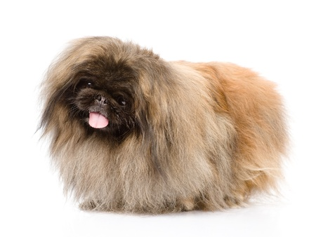 Fluffy Pekingese  isolated on white background Stock Photo - 21913303