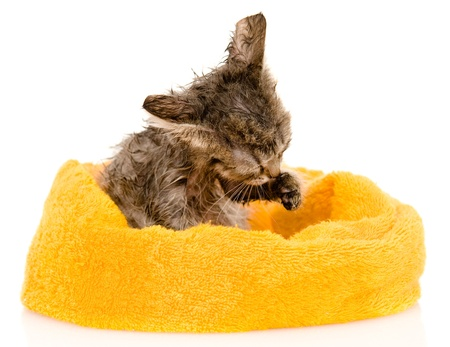 Cute soggy kitten after a bath  isolated on white background photo