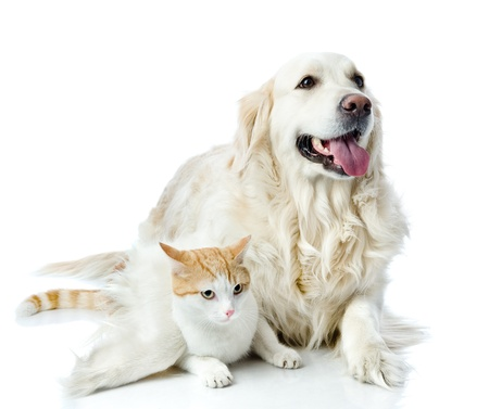 miniature dog: golden retriever dog embraces a cat  looking at camera  isolated on white background