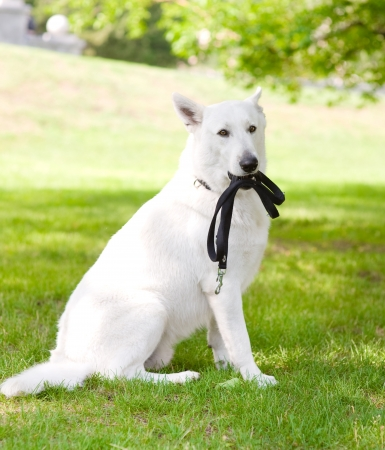 Purebred White Swiss Shepherd with a leash in his mouth photo