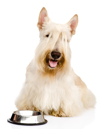 Scottish Terrier begging for food  looking at camera  isolated on white background photo