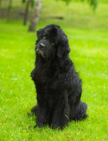 newfoundland dog: Newfoundland dog in front Stock Photo