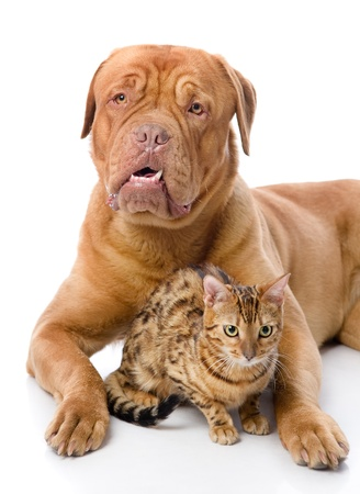 Dogue de Bordeaux  French mastiff  and leopard cat  Prionailurus bengalensis   isolated on white background Stock Photo - 21992708