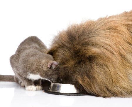 cat eating: cat and dog eating together  isolated on white background
