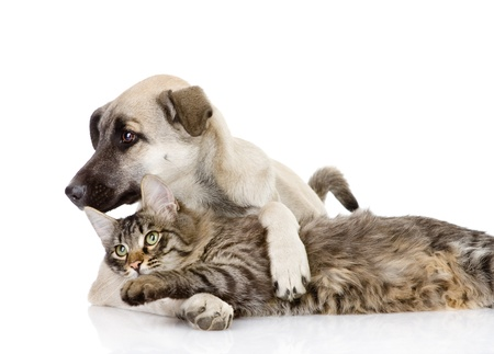lie down: the cat plays with a dog  isolated on white background