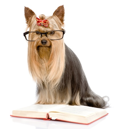 Yorkshire Terrier read book  isolated on white background photo