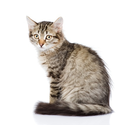 fluffy gray beautiful kitten  isolated on white background