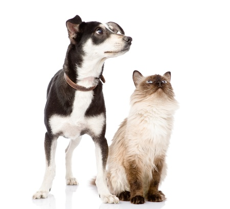 Dog and cat looking up  focused on the cat  isolated on white background photo