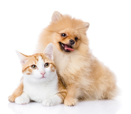 paw smart: spitz dog embraces a cat  looking at camera  isolated on white background Stock Photo