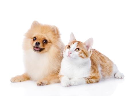 grappige honden: oranje kat en Spitz hond samen te zoeken geïsoleerd op witte achtergrond Stockfoto