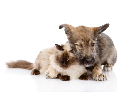 mixed breed puppy and cat together  isolated on white background photo