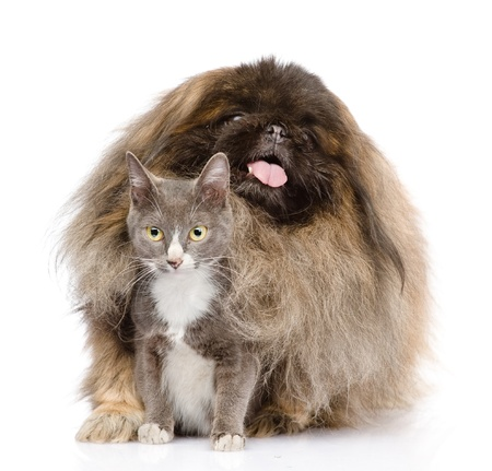 Pekingese hugging cat  isolated on white background photo