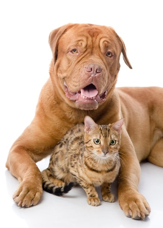 Dogue de Bordeaux  French mastiff  and Bengal cat  Pnailurus bengalensis  lying together  isolated on white background Stock Photo - 22019828