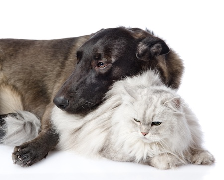 animal sad face: mixed breed dog and persian cat together  isolated on white background