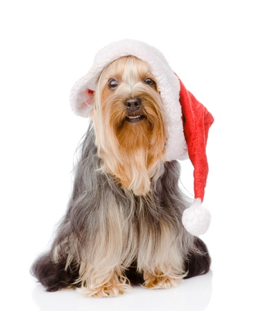 Yorkshire Terrier in red christmas Santa hat  isolated on white background photo