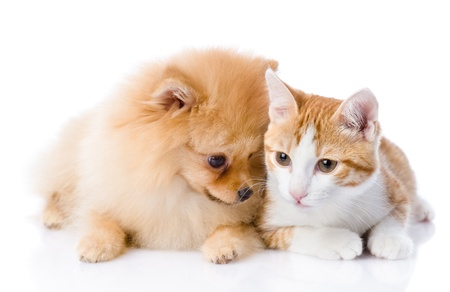 orange cat and spitz dog together  isolated on white background photo