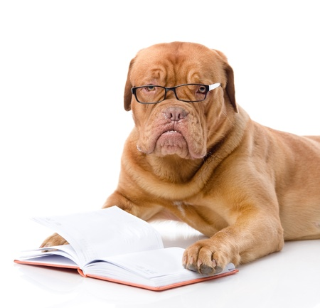 Bordeauxdog gelezen boek geïsoleerd op witte achtergrond