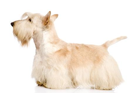 스코틀랜드 테리어 흰색 배경에 고립
