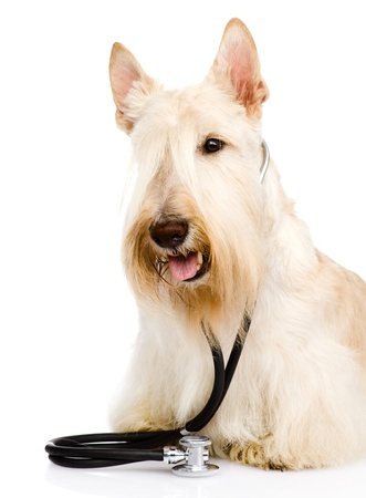 Scottish Terrier with a stethoscope on his neck  isolated on white background photo