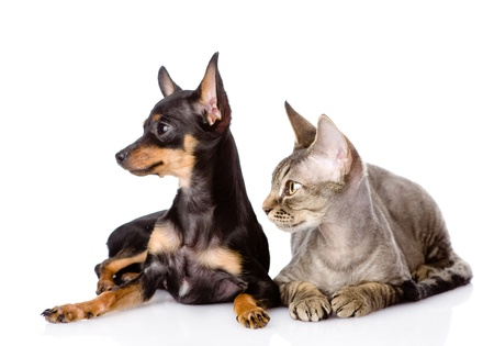 devon: devon rex cat and toy-terrier puppy together  looking away  isolated on white background
