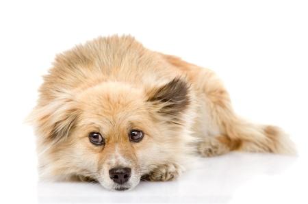 soulful eyes: sad mixed breed dog lying in front  isolated on white background