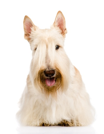 scottish: Scottish Terrier in front  isolated on white background