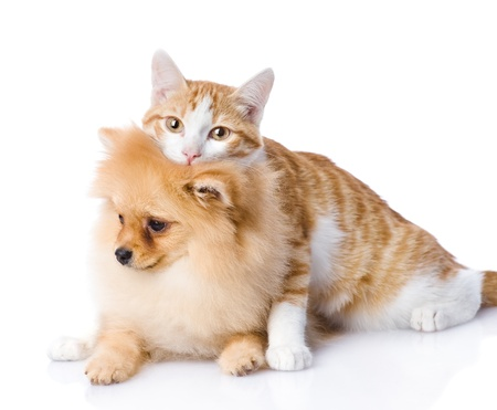 cat embraces a  dog  looking at camera  isolated on white background photo