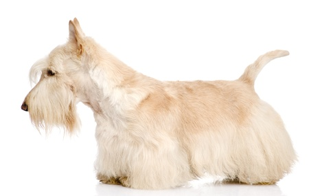 Scottish Terrier isolated on white background photo