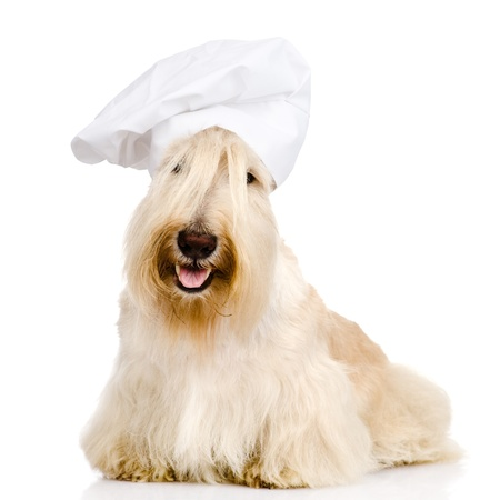 Scottish Terrier in chef s hat  isolated on white background photo