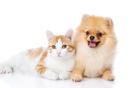 dog cat: orange cat and dog  dog looking at camera  isolated on white background