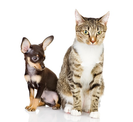 puppy with a cat attentively look in the camera  isolated on white background photo