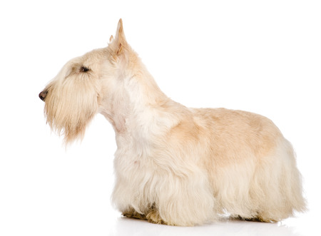 Scottish Terrier isolated on white photo