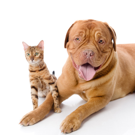 Dogue de Bordeaux  French mastiff  and Bengal cat  Prionailurus bengalensis  together  isolated on white background Stock Photo - 22379679