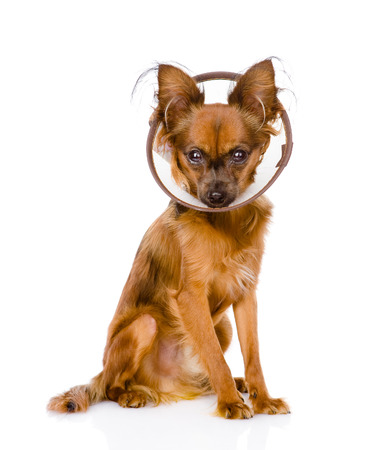 toy terrier wearing a funnel collar  isolated on white background photo